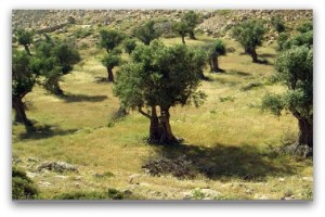 olive oil picking hiolidays italy