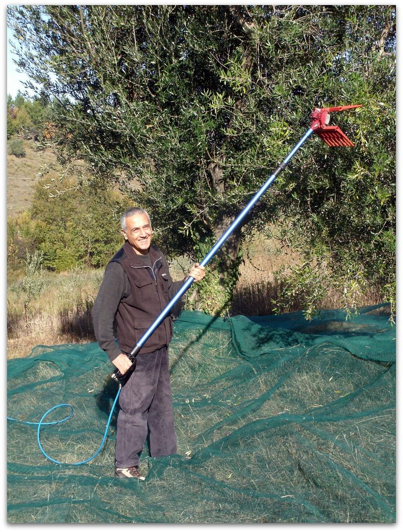 Vacanze degustazione di olio d oliva raccolta delle olive for Raccolta olive periodo
